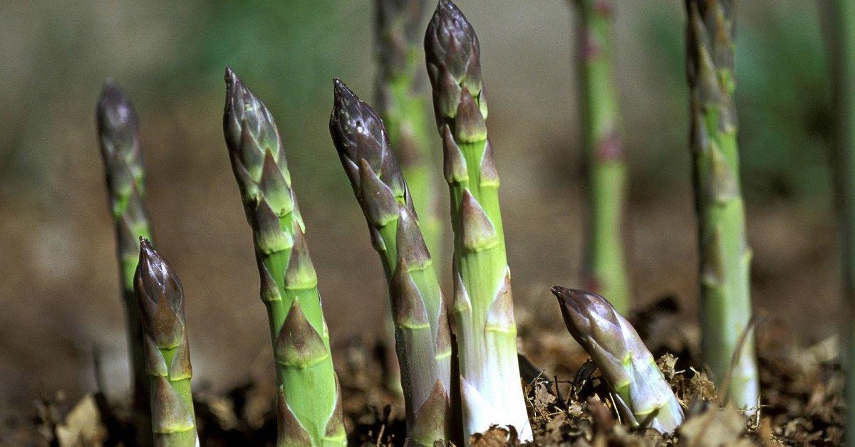 Что такое спаржа: выращивание, виды и приготовление в домашних условиях