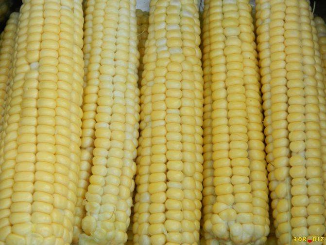 Кукуруза – описание, виды, сорта, выращивание, болезни, фото