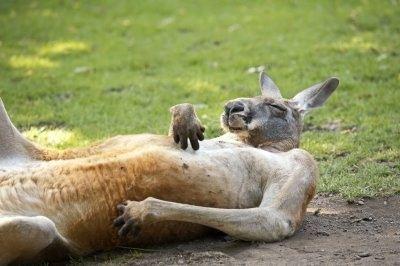 Где живут кенгуру?. мир животных