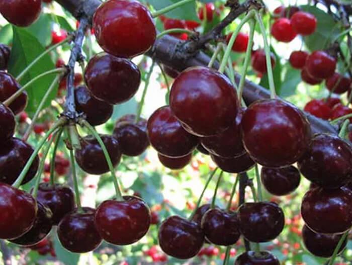 Всё о дюках — гибридах вишни и черешни. описание, выращивание, сорта. фото — ботаничка.ru