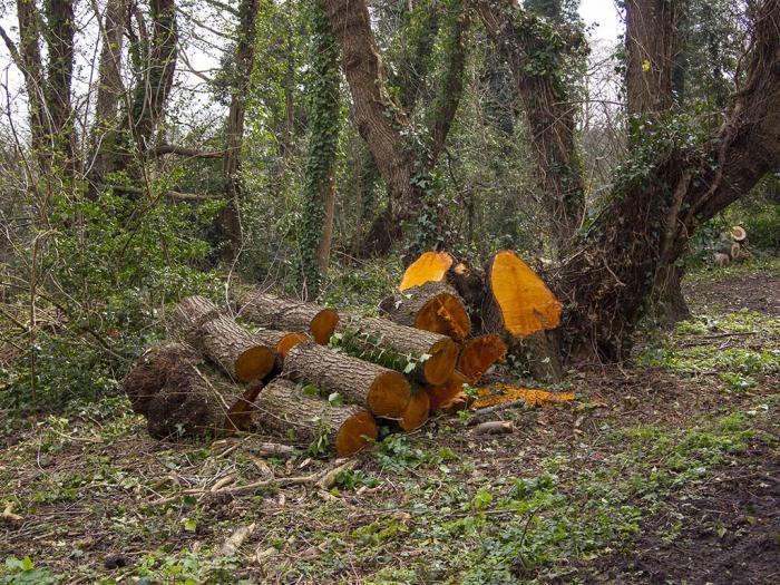 Ольха: фото дерева и листьев, описание, где растет - sadovnikam.ru
