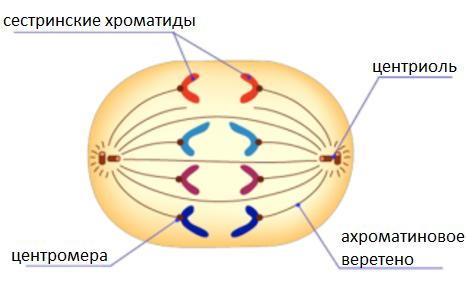 Митоз и мейоз, амитоз и биологическое значение