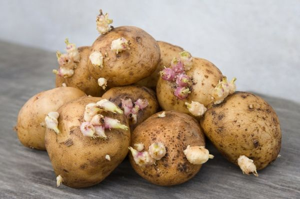 Что такое клубень картофеля: ботаническое описание, развитие и применение