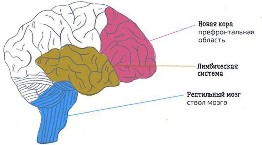 Структуры лимбической системы и неокортекса