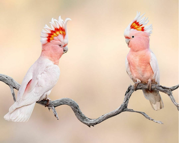 Розовый какаду — википедия. что такое розовый какаду