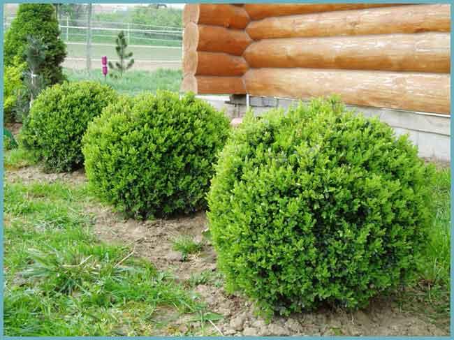 Выращивание самшита в открытом грунте и способы его размножения в домашних условиях