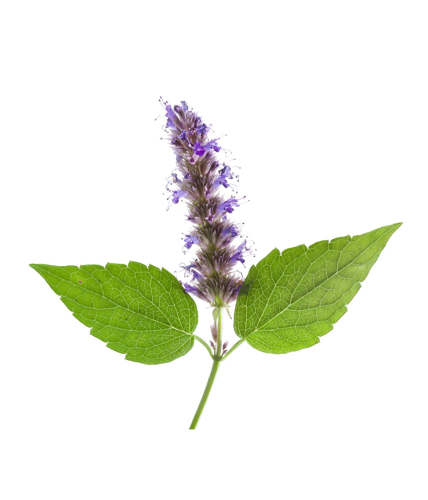 Пачули – состав и свойства растения (с фото); его польза и применение