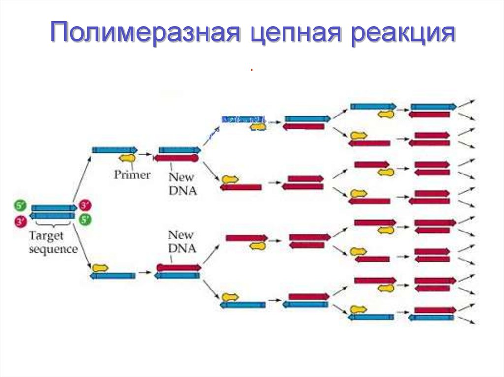 Пцр-диагностика (полимеразная цепная реакция)