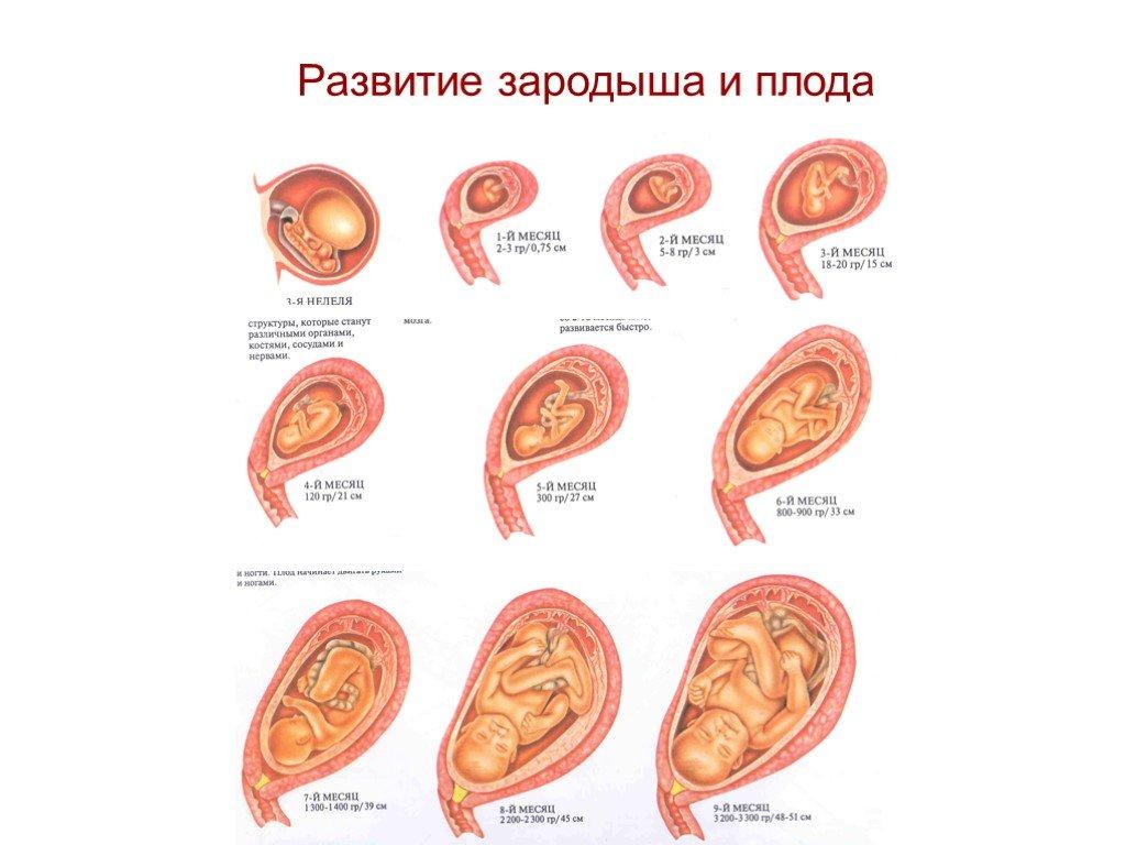 Зародыш (ботаника)
