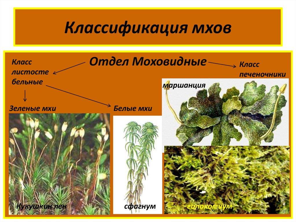 Мохообразные - несосудистые растения: общая характеристика