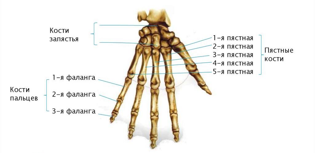 Фаланга (анатомия)