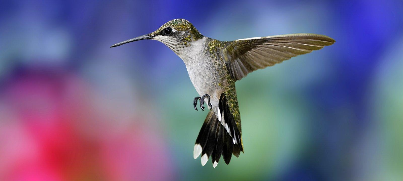 Колибри: фото птицы, внешний вид, описание, особенности