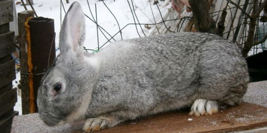 Кролики — википедия. что такое кролики