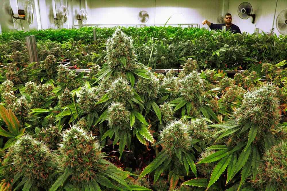 Вот все, что мы на самом деле знаем о марихуане
