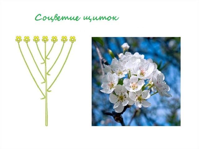 Соцветия растений, биологический смысл, типы соцветий