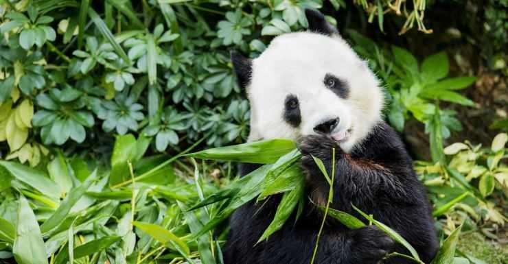 Как панды стали символом китайской дипломатии -  биографии и справки - тасс
