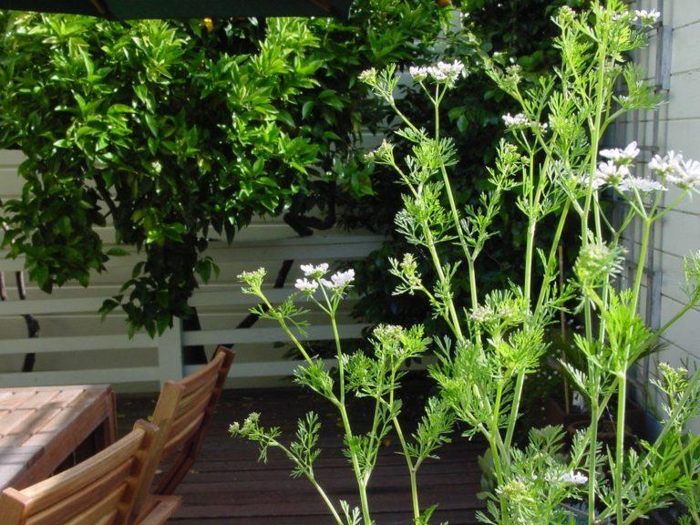 Кориандр (кинза): посадка и уход в открытом грунте, выращивание из семян