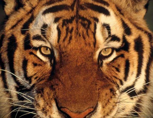Тигр (кот) по китайскому гороскопу