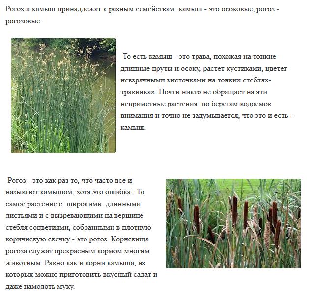 ᐉ камыш лесной - полезные свойства, описание - roza-zanoza.ru
