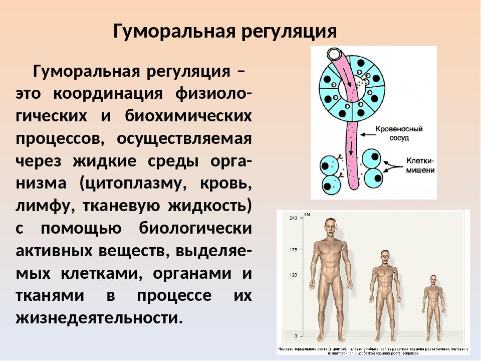 Нервная и гуморальная регуляция организма