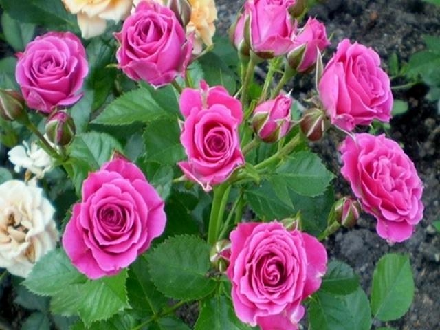 Розы спрей: что это такое, описание и фото лучших сортов, в том числе лидия, алегрия, яна, сан сити, бейб, леонидас, барбадос, их применение в ландшафтном дизайне