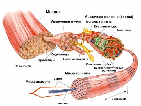 Синдром отсроченной мышечной болезненности (крепатура) и рост мышц » спортивный мурманск