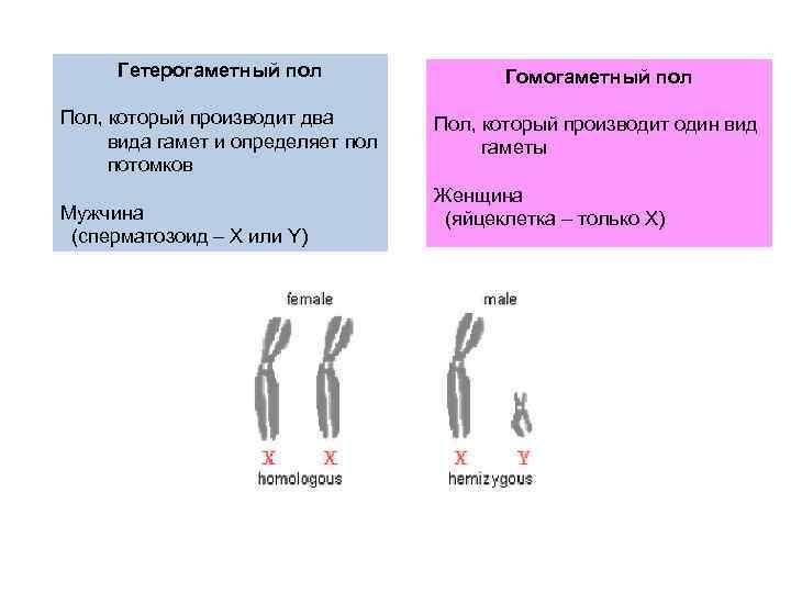 Генетика пола. хромосомное определение пола. наследование признаков, сцепленных с полом