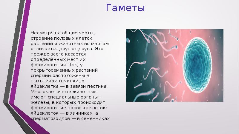Гаметы: понятие, формирование, типы и процесс оплодотворения
