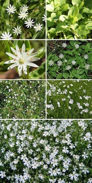 Трава мокрица: полезные свойства и противопоказания, как выглядит, применение в народной медицине, фото