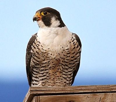 Сокол сапсан- описание птицы, полет, гнездо, скорость
