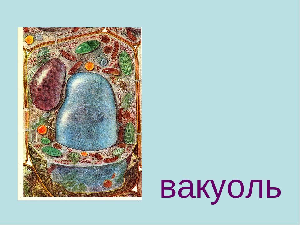 Вакуоль в растительной клетке: отличия центральной вакуоли и ее функции или строение, что обеспечивает клеточный сок и его роль