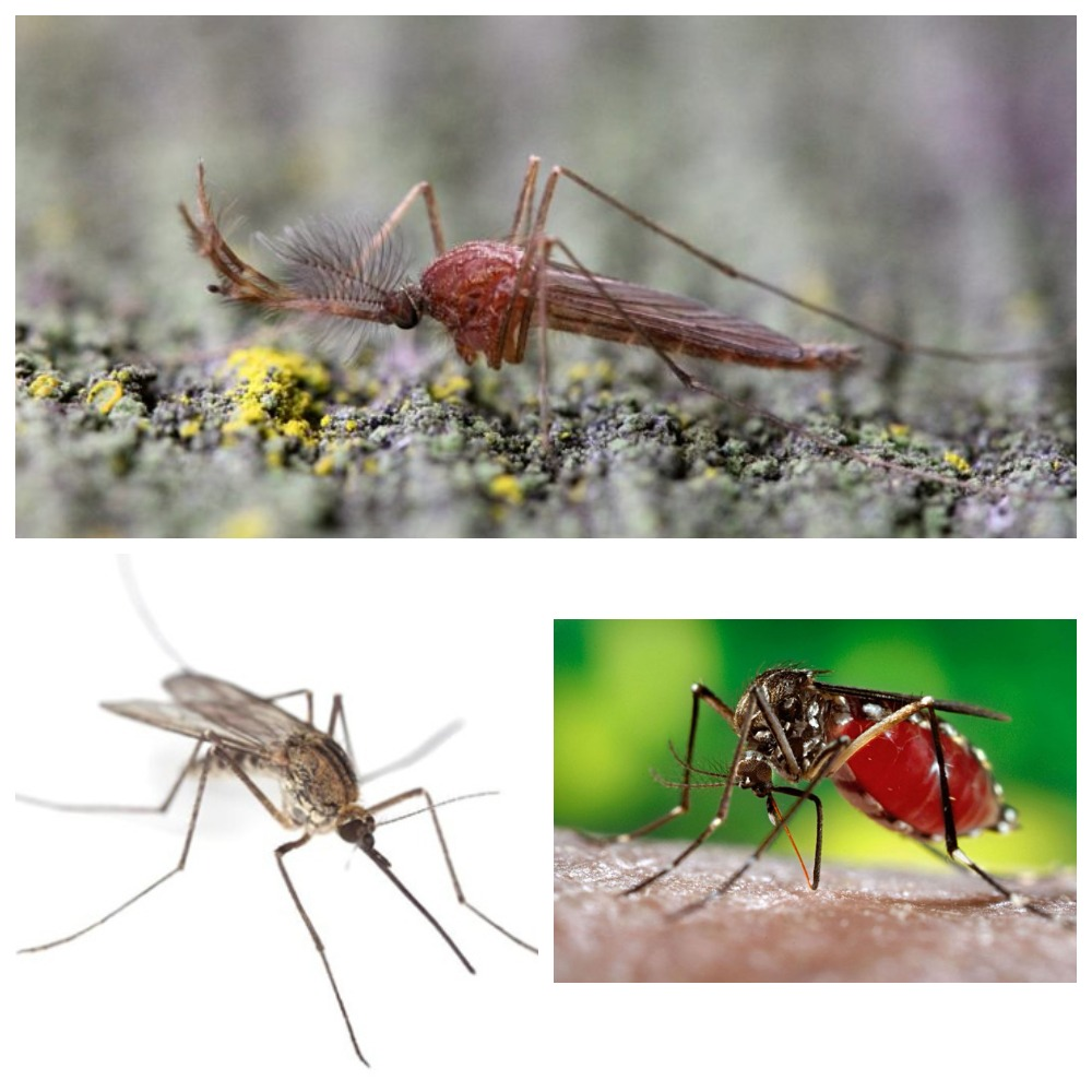 Что нам нужно знать о комарах?