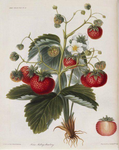 Клубника – описание, виды, сорта, выращивание, уход, фото, видео