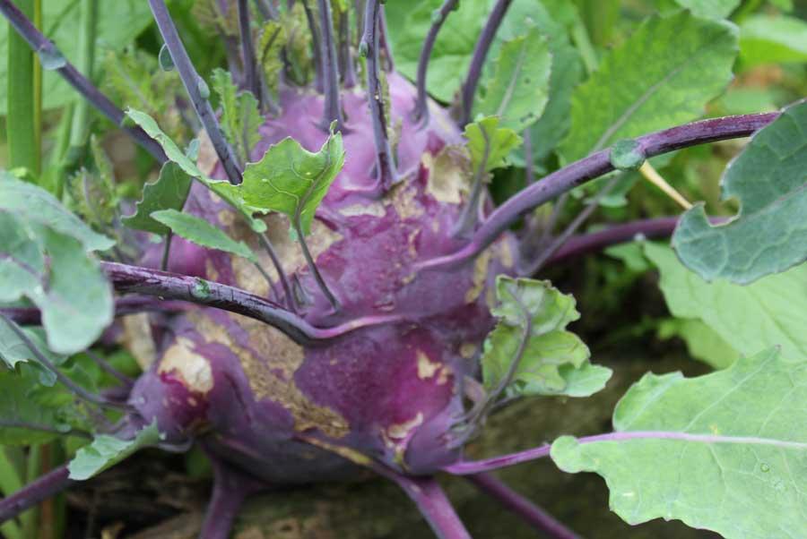 Интересные факты, описание и применение капусты
