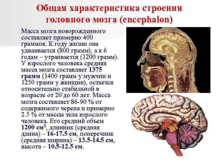 Мозг человека – строения и функции головного мозга - частные заметки