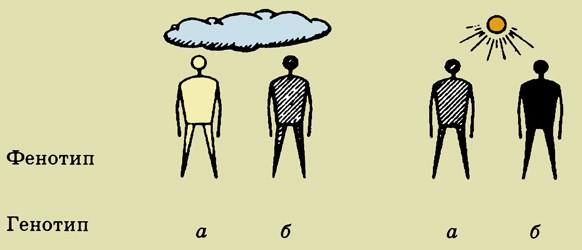 Генотип и фенотип – кратко об отличии и связи
