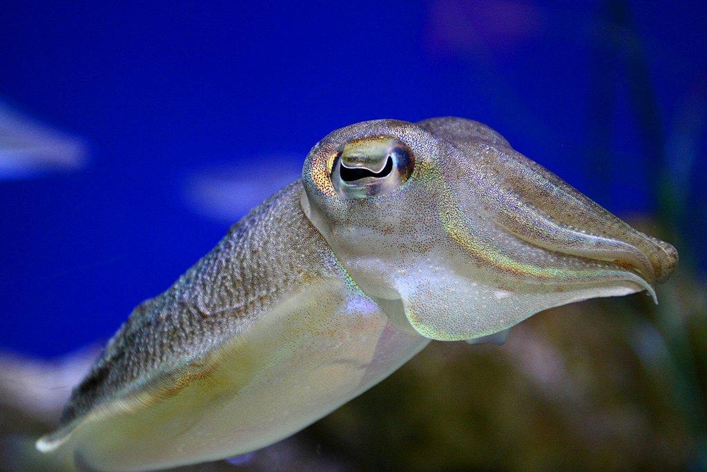 Каракатица обыкновенная, или каракатица лекарственная