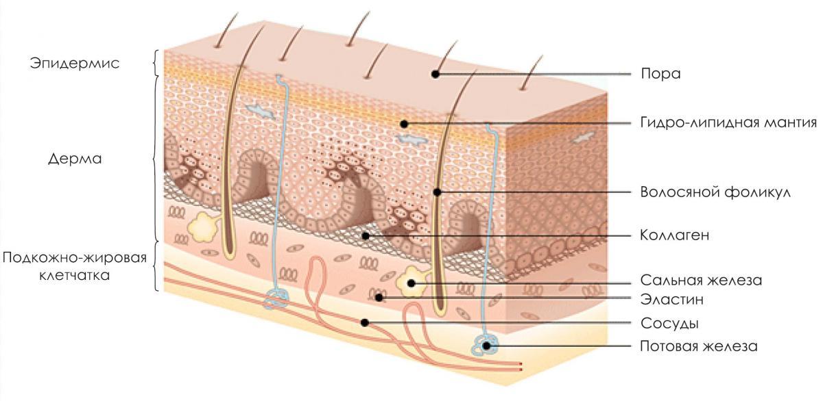 Строение кожи. часть 1. эпидермис