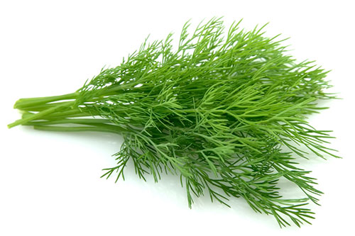Укроп: лечебные свойства ипротивопоказания, рецепты отколик, гипертонии, простатита ицистита