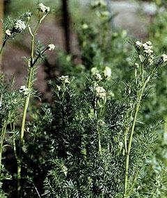 Чёрный тмин: лечебные свойства и применение, противопоказания