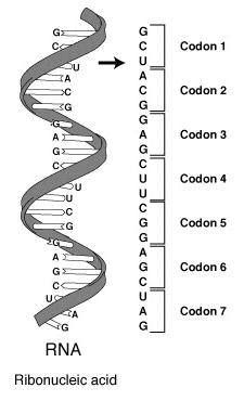 Генетический код клетки