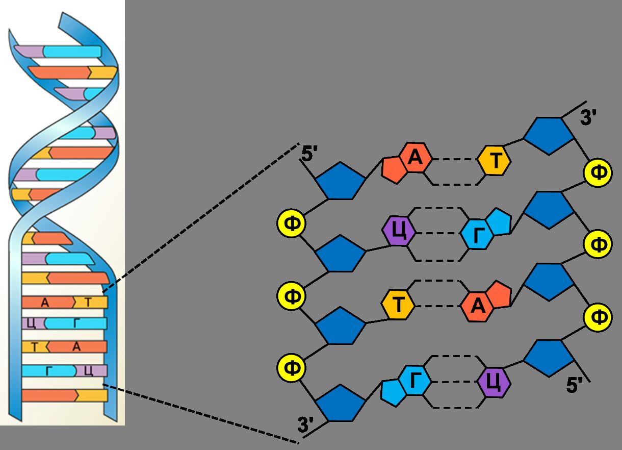 Что такое днк и рнк в биологии?