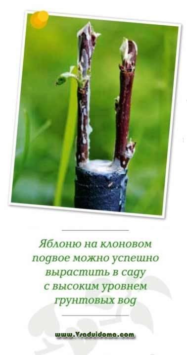 Привои и подвои для яблони: технология и отзывы от профессионалов | tele4n.net