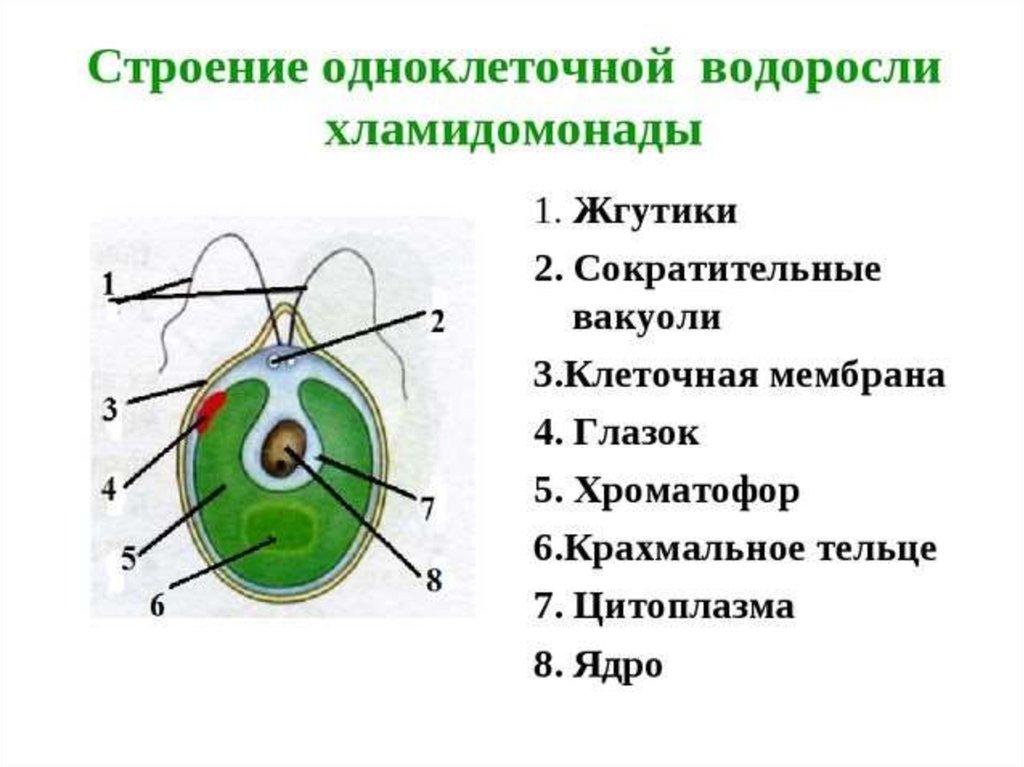 Хламидомонада. классификация.
