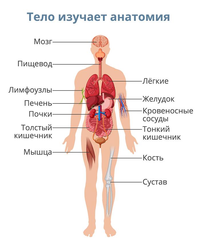 Что такое анатомия и физиология человека