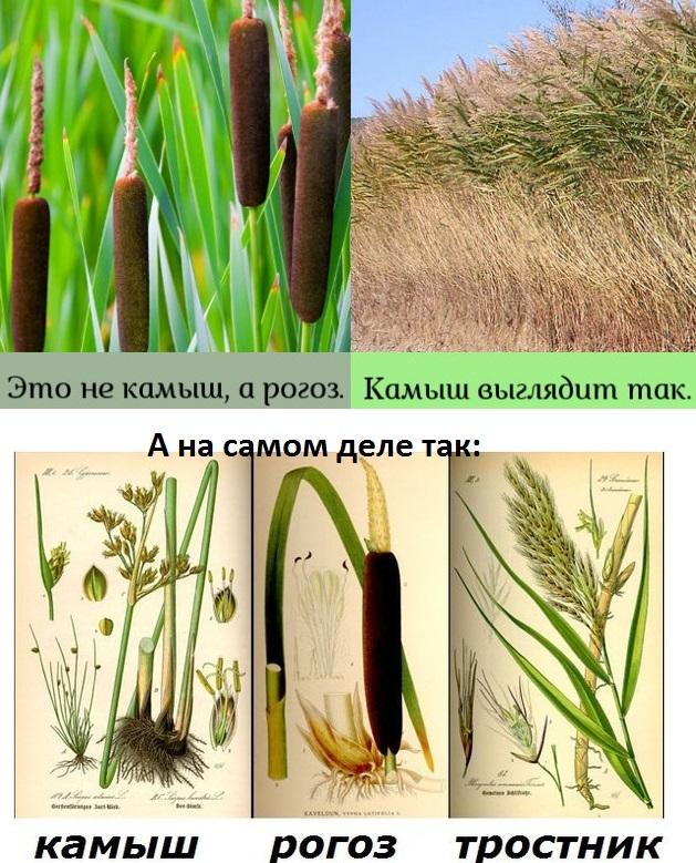 Камыш — полезное растение-космополит