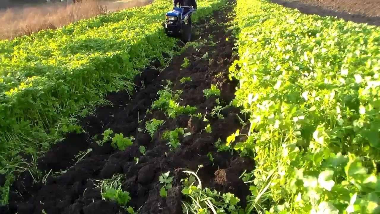 Сидераты: выбор лучших для огорода, когда сеять и когда закапывать + фото
