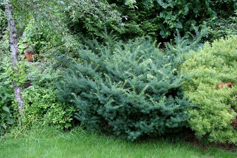Тис средний (18 фото): описание тисов «хикси» и «войтек». посадка и уход. использование в садовом ландшафте