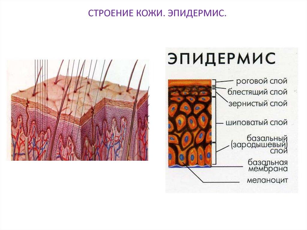 Строение кожи и правила для её красоты | ways to beauty