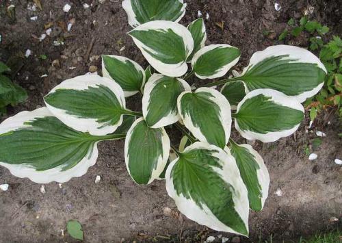 Хоста (растение)